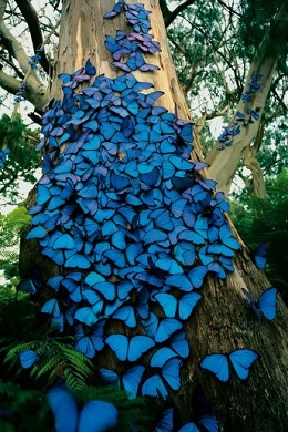 Why It's Called Blue Butterfly.
