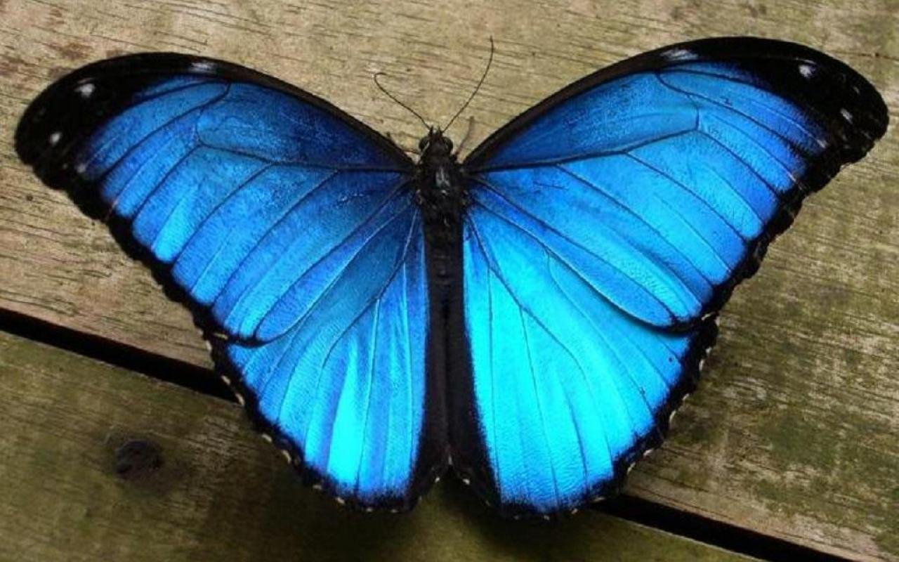 About Blue Butterfly